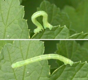 Inchworm (or cankerworm)