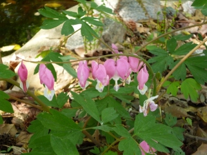 Some beautiful bleeding hearts in my mom's yard.