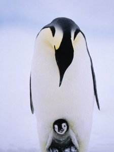 Emperor penguin keeping its chick warm.