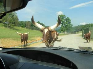 The watusi coming to get us.